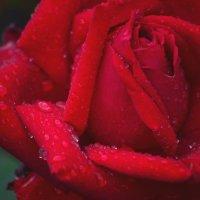Роза :: Ирина Тесцова