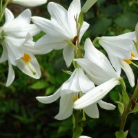 Белые лилии... :: Тамара (st.tamara)