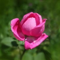 Распускающийся бутон розы. :: Татьяна Кудрина