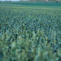 пшеница :: Вадим Романович