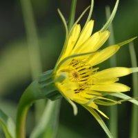 Козлобородник луговой – это вид травянистых растений астрового семейства. :: Вадим Поботаев