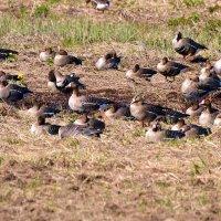 белолобые гуси на отдыхе :: linnud