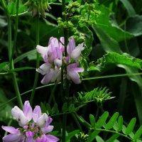 Цветы земдяного ореха :: Владимир Бровко