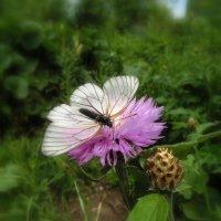 Бабочка - капустница . :: Мила Бовкун