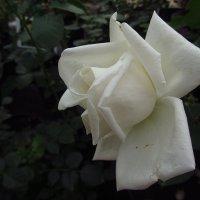 Продолжаю учиться снимать розы :: Андрей Лукьянов