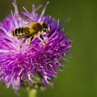Пчела :: Георгий Морозов