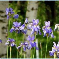 Цветок с друзьями у берёз. :: Владимир Гилясев