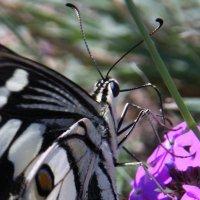 Парусник Демолей (Papilio demoleus) :: Антонина