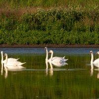 """А белый лебедь на пруду..."" :: Aleksandr Geraimovich"