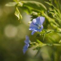 Голубоглазые... :: Лариса Н