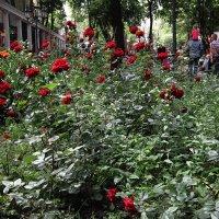 Розы в Городском Саду :: Людмила