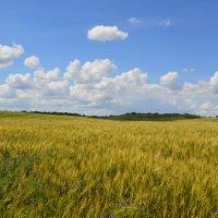 Пшеница созревает. :: Виктор ЖИГУЛИН.