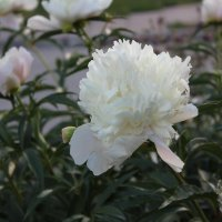 белый пион :: Наталья Золотых-Сибирская