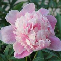 Светло-розовый пион :: Наталья Золотых-Сибирская
