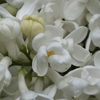 Буйство белой сирени :: Наталья Тимофеева