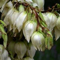 Тяжелые цветы юкки :: Ольга Голубева