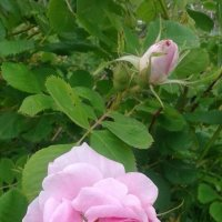 Розовая красота :: BoxerMak Mak