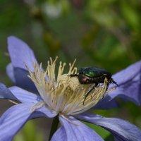 Клематис и жук :: Людмила