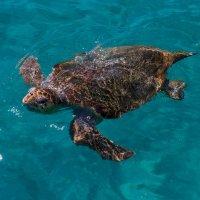 Греция .Остров Закинтос .черепаха(карета) размер больше метра :: юрий макаров