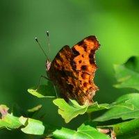 Просто бабочка :: Татьяна