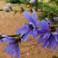 Цикорий цветет :: Павлова Татьяна Павлова