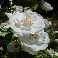 """""""Белая роза...из лучиков света...!"""" :: Galina Dzubina"""