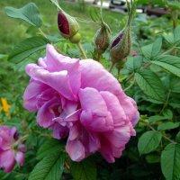 Роза . :: Мила Бовкун