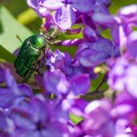 майский жук :: ИрЭн Орлова