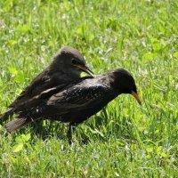 Драчливый птенец :: Ната Волга
