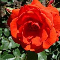 """""""О роза, ты бываешь разной, И изумительно прекрасной…""""... :: Galina Dzubina"""