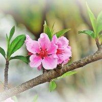 Японская весна :: Swetlana V