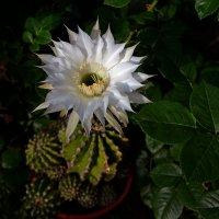 Когда кактусы цветут... :: Александр Бойко