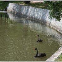 Черный лебедь на пруд :: Владимир Белов