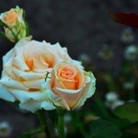 Бутон розы :: Леонид Железнов