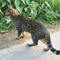 Леопардовая кошка. :: Татьяна Калинкина