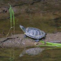 Черепахи у нас тоже водятся :: Елена Шел(Швыдун)
