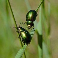 Два  жука :: Геннадий С.