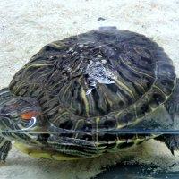 Аквариумная черепаха :: Александр Поздеев