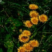 Полевые цветы :: Юрий Шапошник