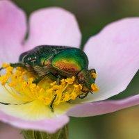 Жук на цветке шиповника :: Оксана Лада