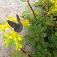 Голубой мотылек на цветочке... :: Valentina