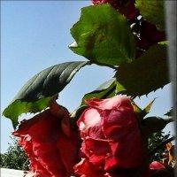 Гирлянда из роз :: Нина Корешкова