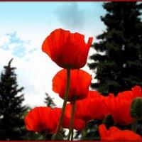 Рдеют маки в городском саду :: Андрей Заломленков