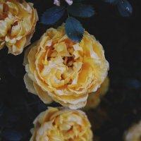 розы :: Валерия Беськаев