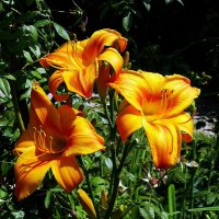 Золотые  лилии :: Владимир Бровко