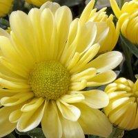 Маленькие хризантемы :: Alexander