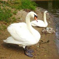 Семья лебедей :: Маргарита Батырева