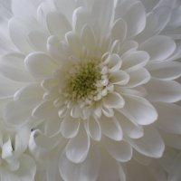 Хризантема :: Алёна Савина
