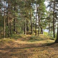 Сосновый лес у озера :: Наталья