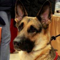 Благородный пес :: Ксения